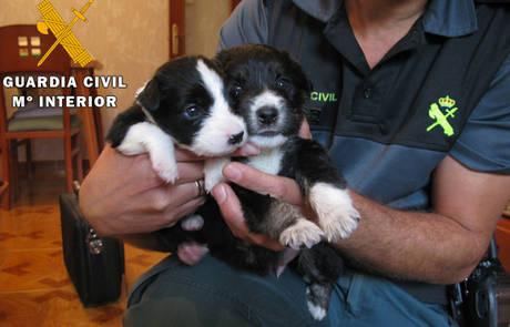 20151023145540-cachorros-border-colli.jpg